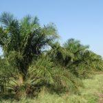 Veille L'huile de palme « durable » n'existe pas